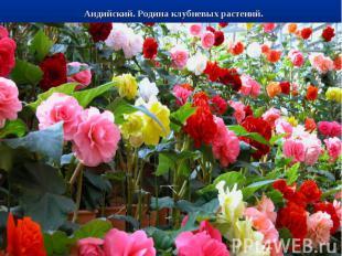 Андийский. Родина клубневых растений.