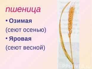 пшеница Озимая (сеют осенью)Яровая (сеют весной)