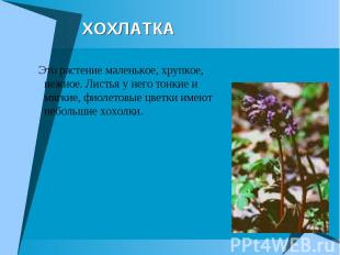 ХОХЛАТКА Это растение маленькое, хрупкое, нежное. Листья у него тонкие и мягкие,