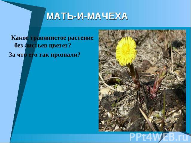 МАТЬ-И-М АЧЕХА Какое травянистое растение без листьев цветет? За что его так прозвали?