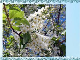 Будто снежный шар бела, По весне она цвела, Нежный запах источала А когда пора н