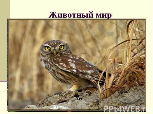 Животный мир Какие животные обитают в пустыне и полупустыне? Какие приспособленности к жизни они имеют? Атлас стр. 32, учебник