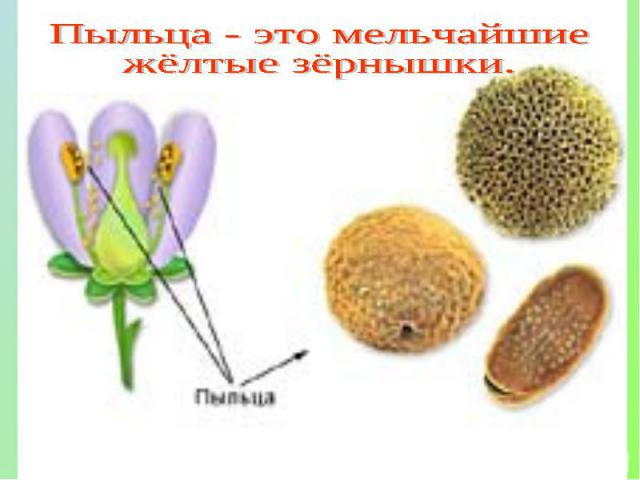 Пыльца - это мельчайшиежёлтые зёрнышки.