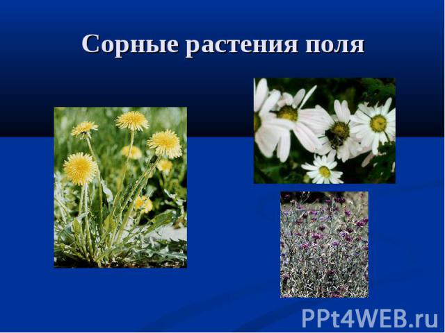 Сорные растения поля