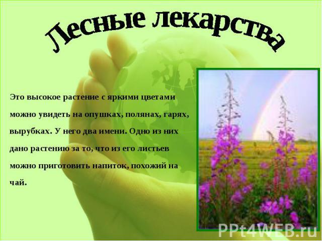 Лесные лекарстваЭто высокое растение с яркими цветами можно увидеть на опушках, полянах, гарях, вырубках. У него два имени. Одно из них дано растению за то, что из его листьев можно приготовить напиток, похожий на чай.