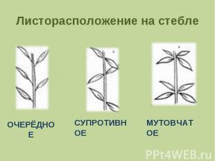 Листорасположение на стебле ОЧЕРЁДНОЕСУПРОТИВНОЕМУТОВЧАТОЕ