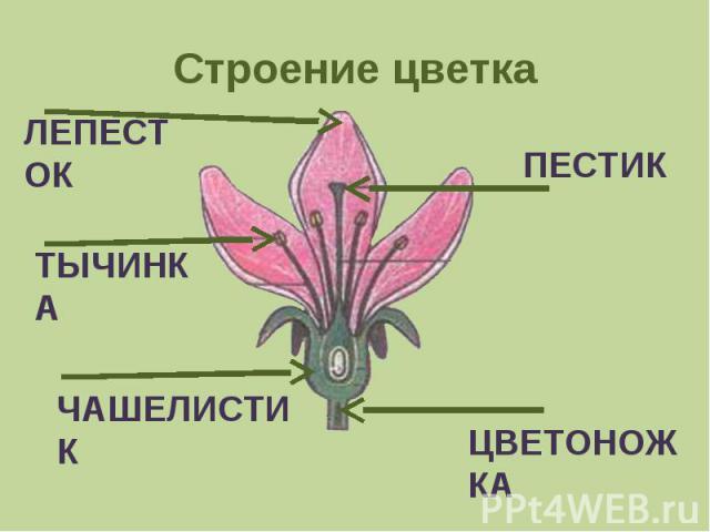 Строение цветка ЛЕПЕСТОКТЫЧИНКАЧАШЕЛИСТИКПЕСТИКЦВЕТОНОЖКА