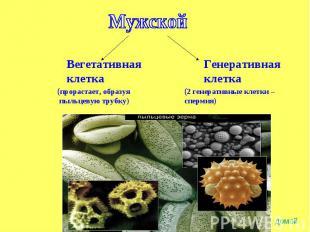 Мужской Вегетативнаяклетка(прорастает, образуя пыльцевую трубку) Генеративнаякле
