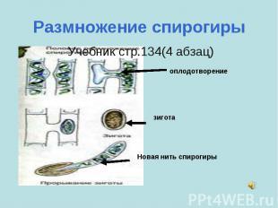 Размножение спирогиры Учебник стр.134(4 абзац) оплодотворениезиготаНовая нить сп