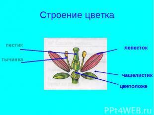 Строение цветка пестиктычинкалепестокчашелистикцветоложе