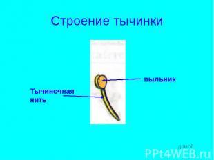 Строение тычинки Тычиночнаянитьпыльник