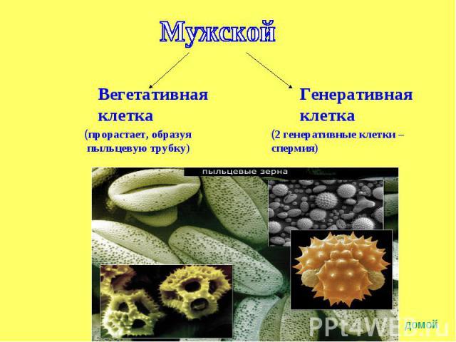 Мужской Вегетативнаяклетка(прорастает, образуя пыльцевую трубку) Генеративнаяклетка(2 генеративные клетки – спермия)