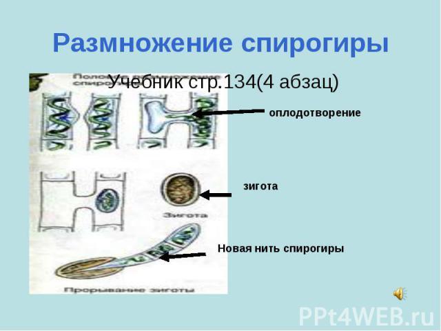 Размножение спирогиры Учебник стр.134(4 абзац) оплодотворениезиготаНовая нить спирогиры