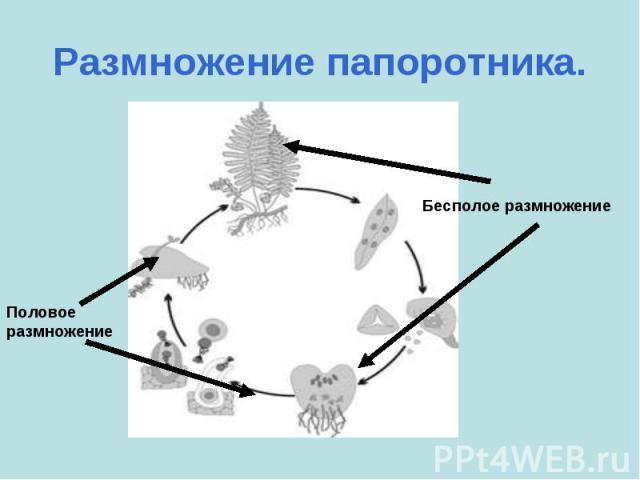 Размножение папоротника. Половое размножениеБесполое размножение