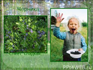 Черника Синих ягодок коверРаскатился вдоль озер.На кусточках, погляди-ка,Спеет с