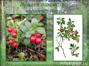 Лучшее лакомство хвойного леса У брусники вкус особый: Толи кислый, толи нет. Ск