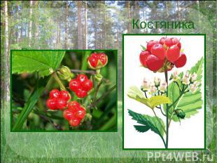 Костяника Расту я в сосновом бору. На верхушке стебля – ягода из 3 – 4 плодиков.