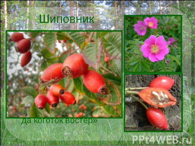 Шиповник Название этого растения произошло от слова «шип» – колючка. О нем говорили:«хорош бы цветочек, да коготок востер»