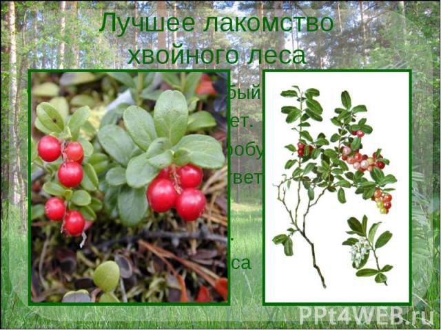Лучшее лакомство хвойного леса У брусники вкус особый: Толи кислый, толи нет. Сколько ты её ни пробуй, Не найдёшь на то ответ. А зелёные листочки Не желтеют и зимой. Приносили мы из леса Эту ягоду домой.