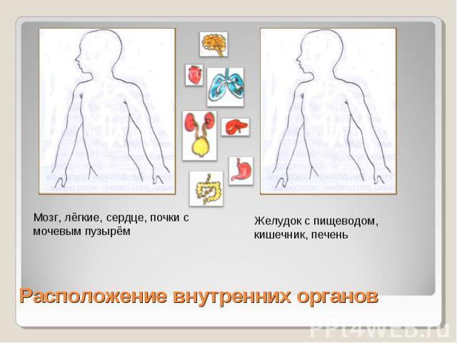 Мозг, лёгкие, сердце, почки с мочевым пузырёмЖелудок с пищеводом, кишечник, печеньРасположение внутренних органов