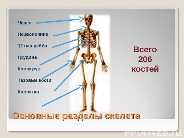 ЧерепПозвоночник12 пар ребёрГрудинаКости рукТазовые костиКости ногОсновные разделы скелетаВсего206костей