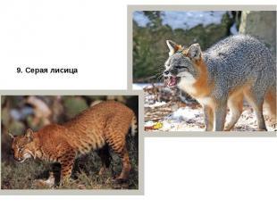 9. Серая лисица 10. Красная рысь