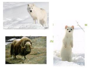 7. Овцебык