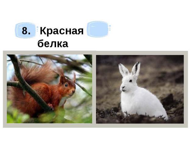 8. Красная белка