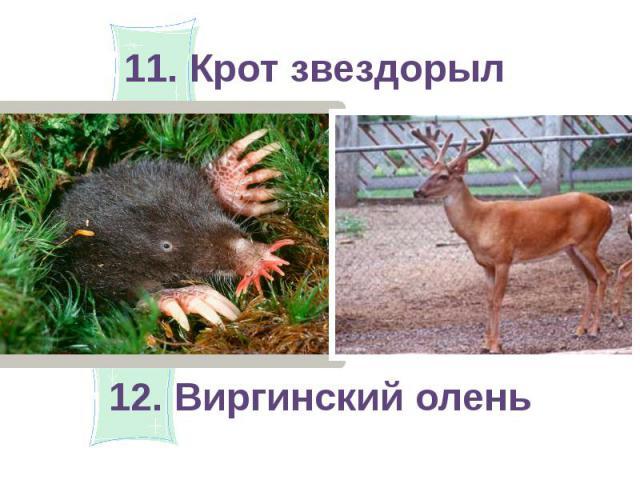 11. Крот звездорыл 12. Виргинский олень
