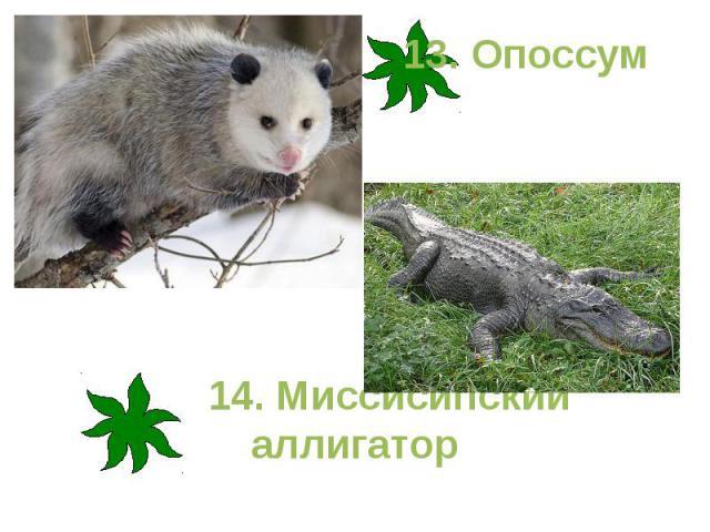 13. Опоссум 14. Миссисипский аллигатор