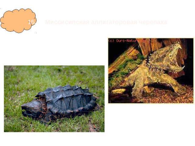 15. Миссисипская аллигаторовая черепаха