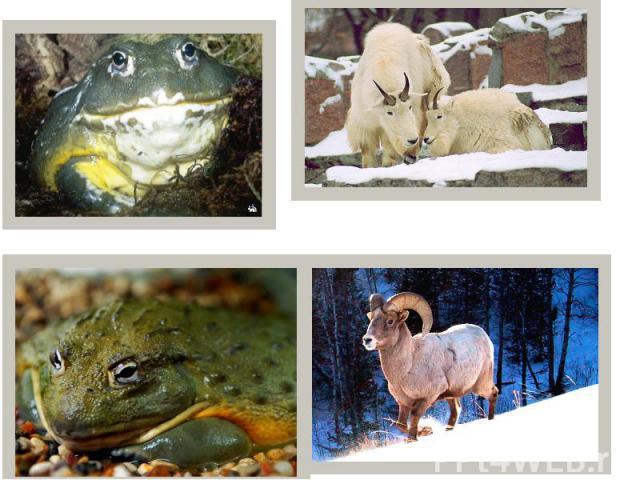 18. Снежный козел 16. Лягушка-бык 17. Снежный баран