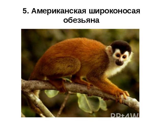5. Американская широконосая обезьяна