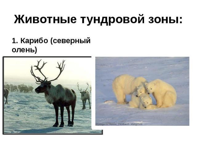 Животные тундровой зоны: 1. Карибо (северный олень)