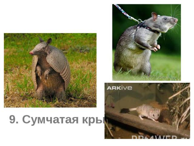 8. Броненосец 9. Сумчатая крыса