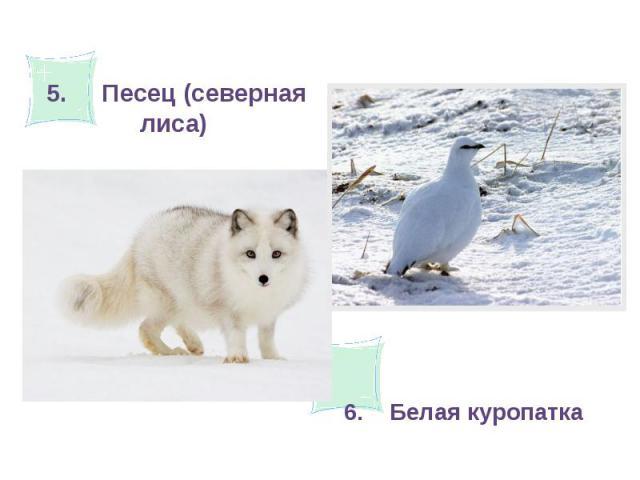 5. Песец (северная лиса)