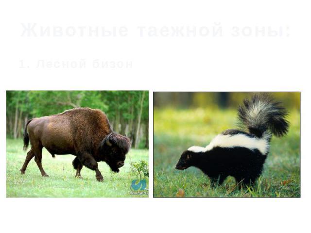 Животные таежной зоны: 1. Лесной бизон
