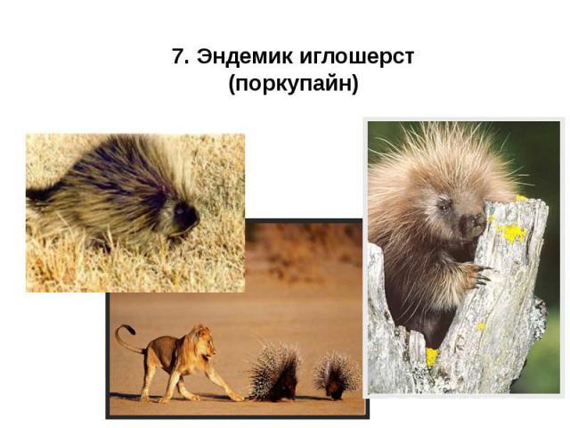 7. Эндемик иглошерст (поркупайн) 7. Эндемик иглошерст (поркупайн)