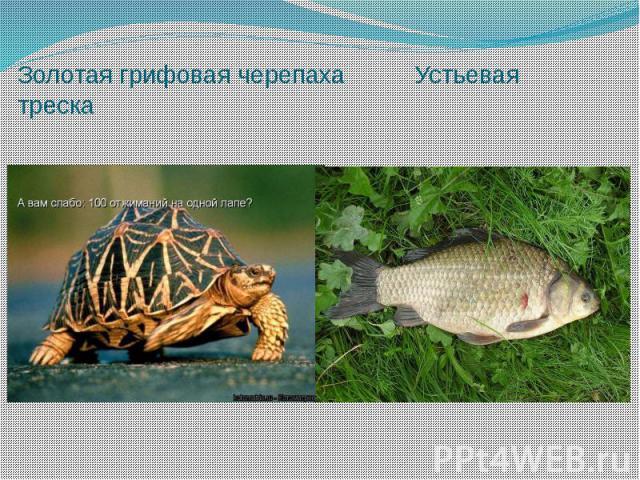 Золотая грифовая черепаха Устьевая треска