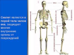 Скелетявляетсяопоройтелачеловека, защищает многие внутре