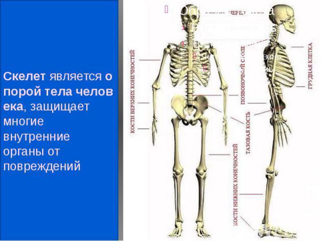 Скелетявляетсяопоройтелачеловека, защищает многие внутренние органы от повреждений