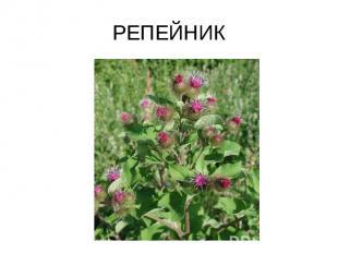 РЕПЕЙНИК