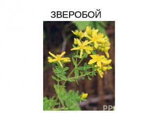 ЗВЕРОБОЙ