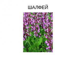 ШАЛФЕЙ