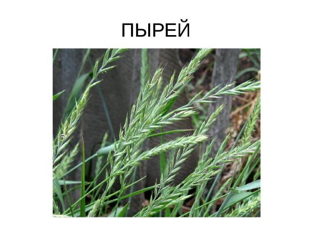 ПЫРЕЙ