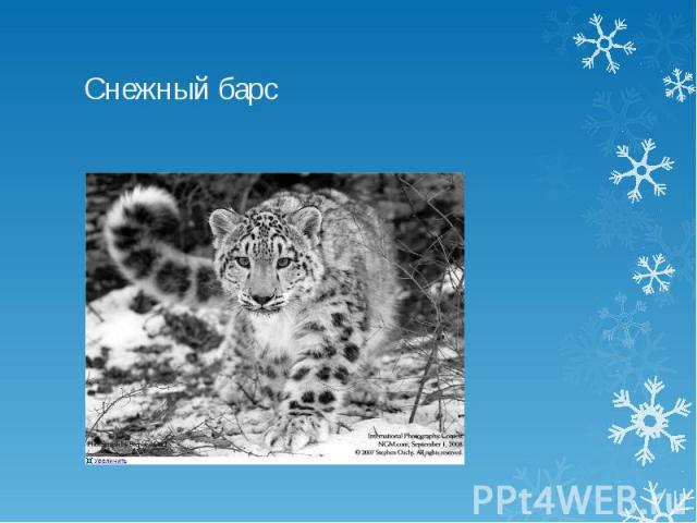 Снежный барс СНЕГ