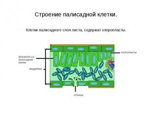 Клетки палисадного слоя листа, содержат хлоропласты. Клетки палисадного слоя лис