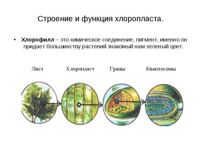 Хлорофилл – это химическое соединение, пигмент, именно он придает большинству растений знакомый нам зеленый цвет. Хлорофилл – это химическое соединение, пигмент, именно он придает большинству растений знакомый нам зеленый цвет.