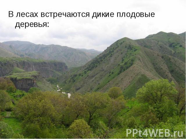 В лесах встречаются дикие плодовые деревья: В лесах встречаются дикие плодовые деревья: