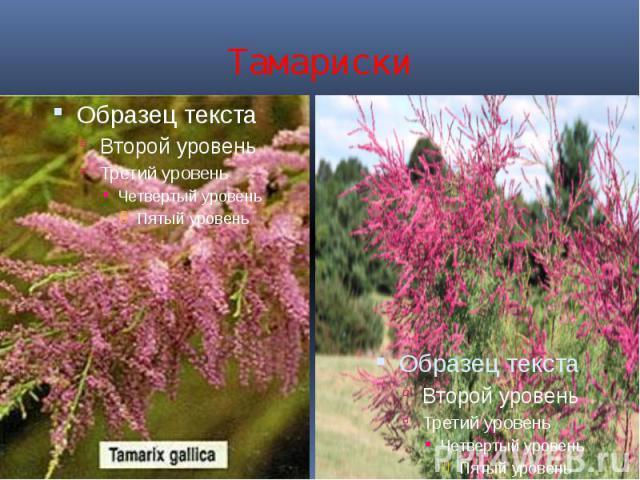 Тамариски